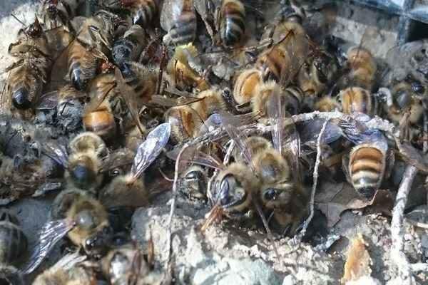 Śmierć 2,5 mln pszczół w pasiece Rafała Szeli w Chmielniku.